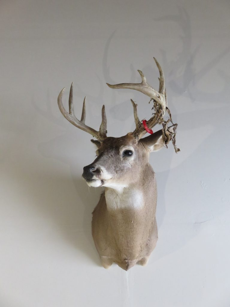 Whitetail Deer Shoulder Mount Dw